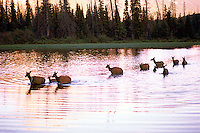 Banff National Park, Canadian Rockies, AB, Alberta, Canada - Elk Cows and Calves, Wapiti (Cervus canadensis) Herd crossing Vermilion Lake at Sunset