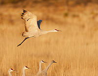 Sandhill Crane leaving to feed in the early morning; Bosque del Apache, NM