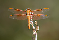 A Flame Skimmer dragonfly, Libellula saturata, perches on a branch in the Desert Botanical Garden, Phoenix, Arizona