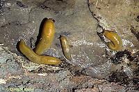 1Y12-001b  Slug - slugs showing slime trails