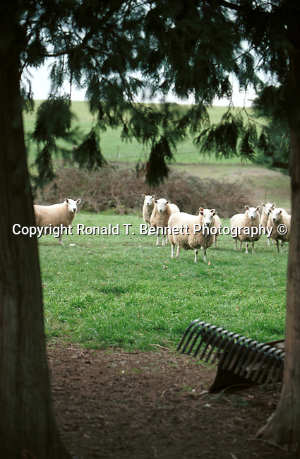 Domestic sheep in Oregon field, sheep, Ovis aries, quadrupedal, ruminant, mammals, livestock, Agriculture, fleece, lamb, mutton, shearing, pelts, milk, rams, ewes, herding dogs, seasonal breeders, lamb, Pacific Northwest, Fine Art Photography by Ron Bennett, Fine Art, Fine Art photography, Art Photography, Copyright RonBennettPhotography.com © Fine Art Photography by Ron Bennett, Fine Art, Fine Art photography, Art Photography, Copyright RonBennettPhotography.com ©
