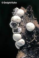 SD16-004x  Slime Mold - sporangia showing spore mass - Diderma globosum - shot @ 5x