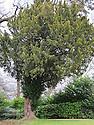 Yew tree (Taxus baccata).