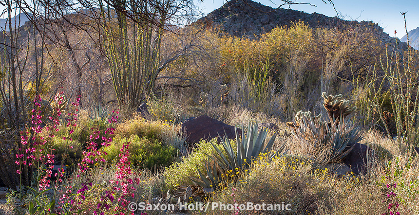 Desert landscape with cactus and wildflowers Sonoran Desert ecosystem demonstration garden  at Living Desert Zoo and Gardens, Palm Springs, California.