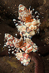 A pair of Harlequin shrimp: Hymenocera elegans, feeding off a starfish, Tulamben, Bali