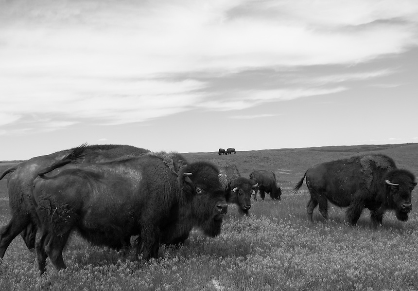 Buffalos are important part of Lakota culture. For centuries, both the buffalo and the Plains Indians prospered.<br />  As the U.S. government  looked to expand westward after the Civil War, they started to infringe upon Indian lands. During the Plains Indian Wars, as the U.S. Army attempted to drive Indians off the Plains and into reservations, the Army had little success because the warriors could live off the land and elude them&mdash;wherever the buffalo flourished, the Indians flourished. The end came quickly&mdash;less than 400 wild bison were left by 1893.<br />  The Intertribal Bison Council was formed in 1990 to assist tribes in returning buffalo to Indian country and now has a collective herd of more than 15,000 bison divided among 57 tribes in the western United States up to Alaska and over to the Great Lakes area of Michigan.