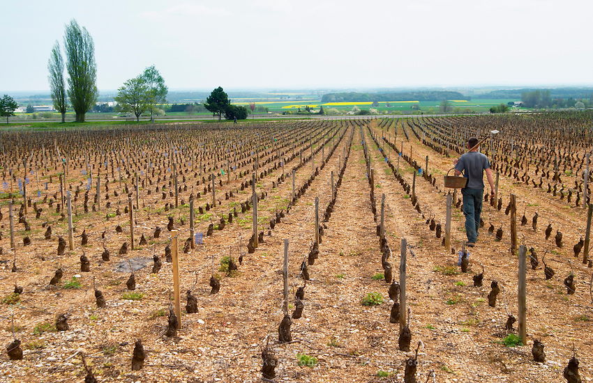 man Replanting in springtime pinot noir clos st louis fixin cote de nuits burgundy france