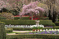 Flowering Cherry Tree (Prunus) in spring formal garden, The Sundial Garden - Filoli, California, white tulip 'Clearwater'
