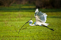 Great Egret (Casmerodius albus) in flight with stick