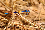Blue Damselfly, Vivid Dancer male, Argia vivida, Temescal Canyon, Southern California