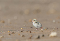 Least Tern (Sterna antillarum), young tern walking, Port Isabel, Laguna Madre, South Padre Island, Texas, USA