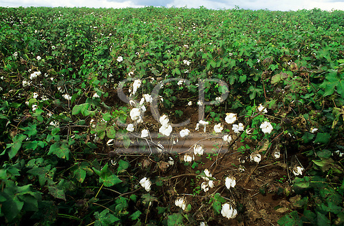 Rolandia, Parana State, Brazil. Field of cotton (Gossypium sp).
