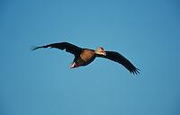 Black-bellied Whistling-Duck, Dendrocygna autumnalis, adult in flight, Welder Wildlife Refuge, Sinton, Texas, USA, June 2005