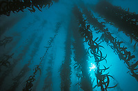 Kelp Forest towers above the sea floor. Point Lobos State Reserve, Carmel Bay, CA