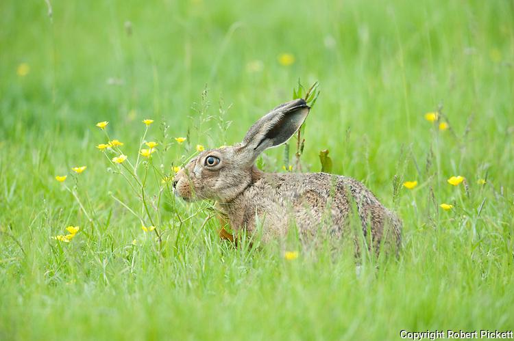 Brown Hare, Lepus europaeus, Elmley Marsh, Kent UK, hiding in long grass