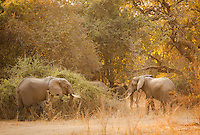 African Elephants, Luangwa River Valley Zambia, Africa