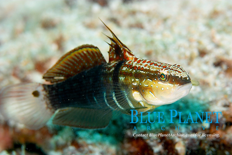 Spot fin goby, Koh Ha, Andaman sea, Indian Ocean, Thailand, Asia