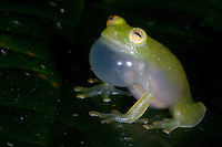 Fleischmann's Glass Frog  Hyalinobatrachium fleischmanni; in rain forest; Panama, El Valle