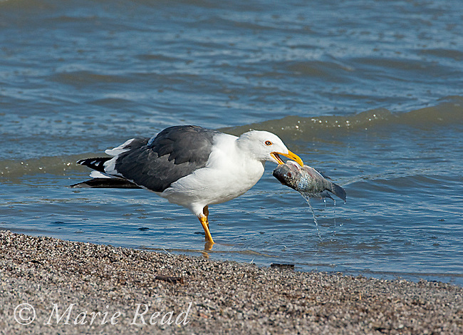 Yellow-footed Gull (Larus livens), holding fish in its bill, Salton Sea National Wildlife Refuge, California, USA