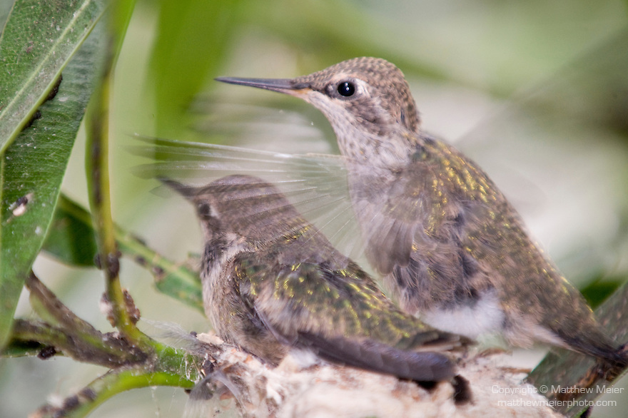 La Jolla, California;  one of the two, three week old Anna's Hummingbird (Calypte anna) chicks, beats it's wings rapidly, while sitting in their nest