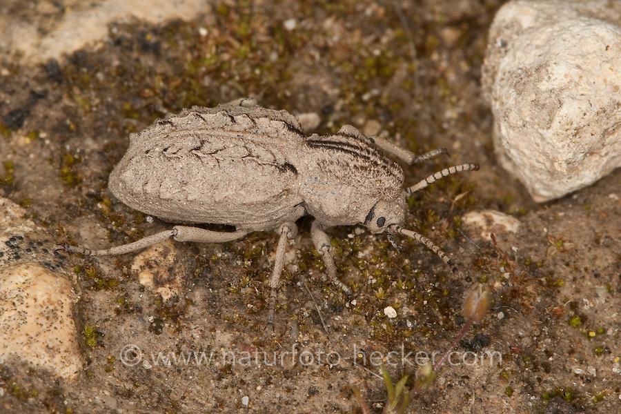 Sepidium spec., Tenebrionidae, Schwarzkäfer, Dunkelkäfer, Schattenkäfer, Italien, Sizilien