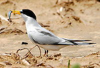 Adult least tern in breeding plumage with fish