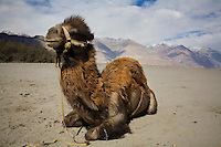 A Bactrian camel takes a rest at the sand dunes in Hundar. The camels are a legacy left behind by the caravans plying the trade routes between Punjab and China. Scenery of Nubra Valley, Ladakh on 4th June 2009. The valley of Ladakh is located in the Indian Himalayas, in the northern state of Jammu and Kashmir. Photo by Suzanne Lee