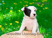 Marek, ANIMALS, REALISTISCHE TIERE, ANIMALES REALISTICOS, dogs, photos+++++,PLMP3013,#a#, EVERYDAY