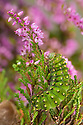 Emperor Moth {Saturnia pavonia} caterpillar feeding on Ling Heather {Calluna vulgaris}. Peak District National Park, Derbyshire, UK. August.