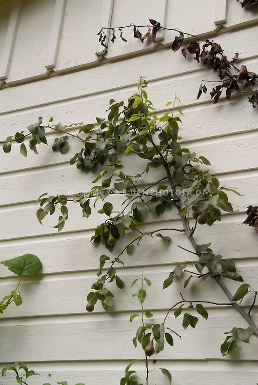 Trellising a pear tree to grow fruit against the side of the house