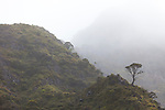 A single Ohea tree clings to the rocks in the Kaupo Gap on a misty morning.  This is located in the far eastern flank of Haleakala.