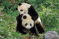 Two younger Giant Pandas (Ailuropoda melanoleuca) play in bamboo forest of central China.