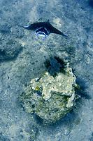 reef manta ray, Manta alfredi, Palau, Pacific Ocean