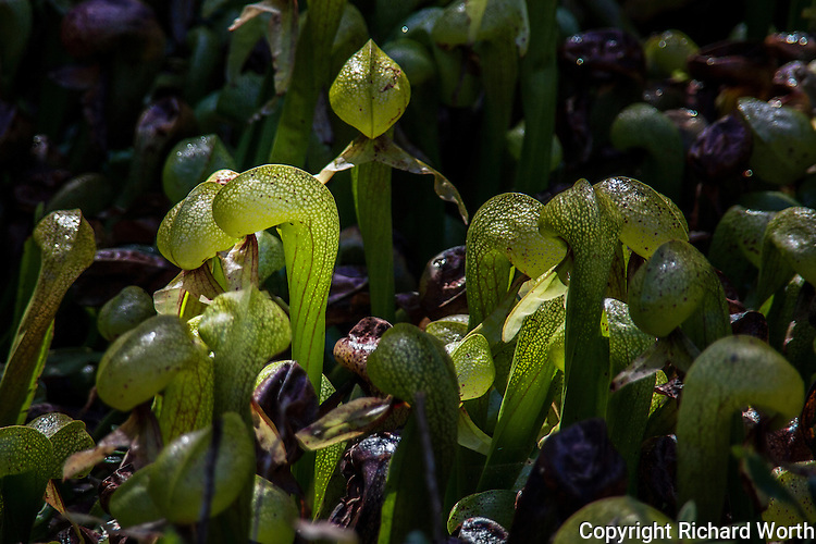 Bending the rules:  a group of cobra snakes is a quiver.  Here, a group of cobra lily plants has  also been called a quiver.  A quiver of cobras in a State Park north of Florence, Oregon.