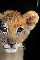 656259092 a very young african lion cub panthera leo peers out from its protective enclosure at a wildlife rescue facility species is native to sub-saharan africa
