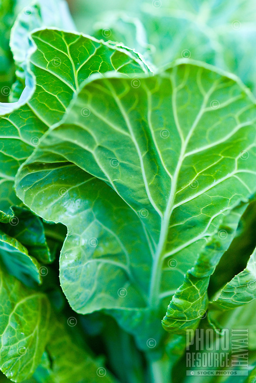 Close-up of collard greens in an organic garden in Kalihi