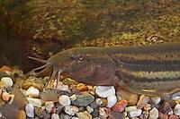Schlammpeitzger, Bissgurre, Wetterfisch, Misgurnus fossilis, weatherfish