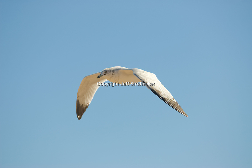 Segull in flight