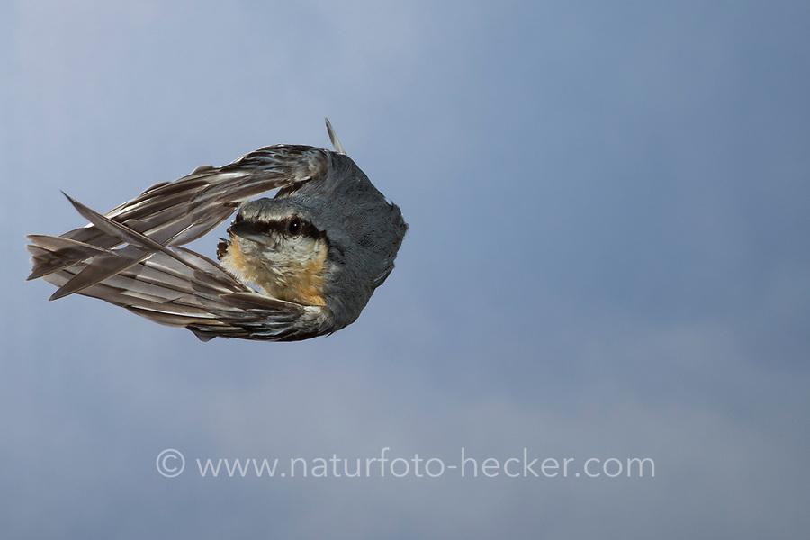 Kleiber, Spechtmeise, Flug, Flugbild, fliegend, Sitta europaea, Nuthatch, Eurasian nuthatch, wood nuthatch, flight, flying, Sittelle torchepot