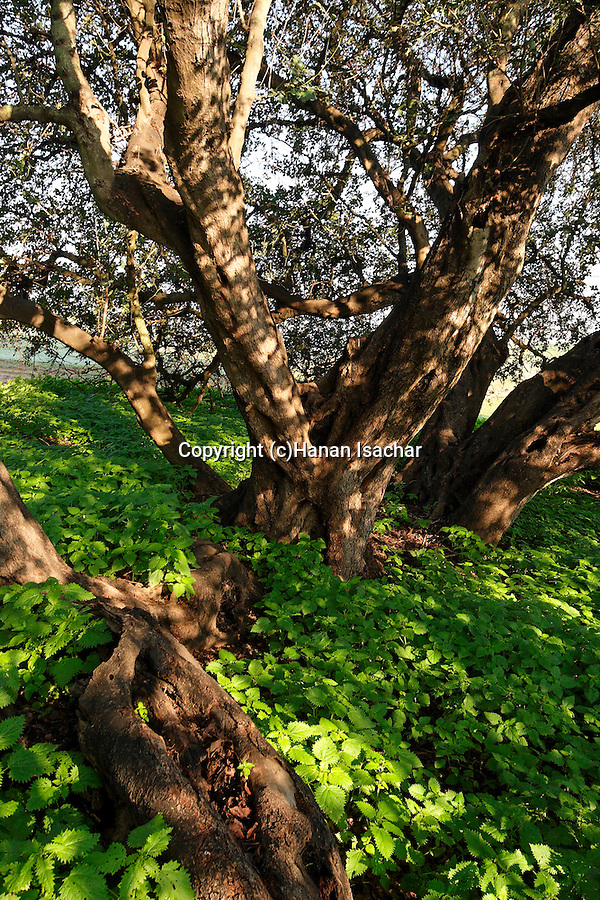 Israel, Carob trees in Sharon Park