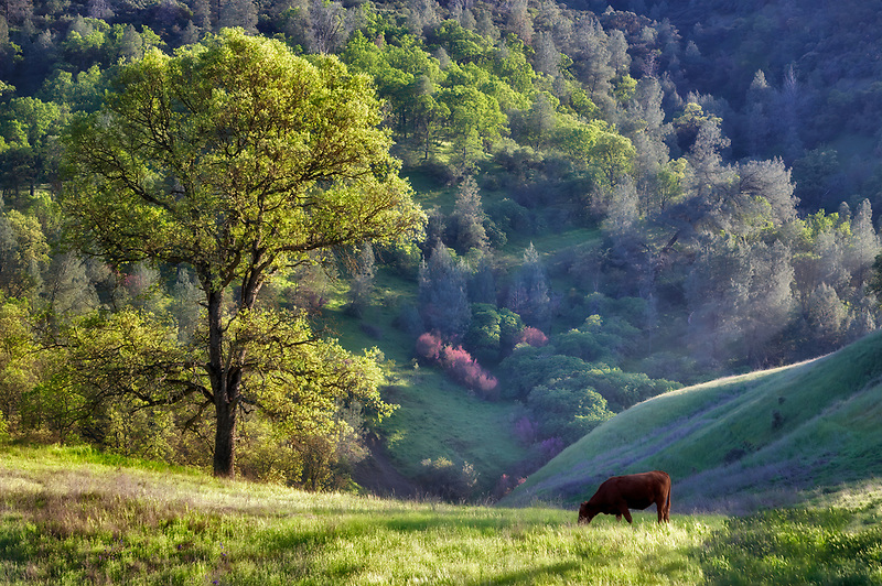 Pasture with cow and oak trees. Bear Valley. California