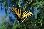 A Two Tailed Swallowtail: female. (Papilio multicaudata) Tucson, Arizona