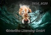 REALISTIC ANIMALS, REALISTISCHE TIERE, ANIMALES REALISTICOS, dogs, paintings+++++SethC_CALLAWAY_WATER_PRINT,USLGSC20,#A#, EVERYDAY ,underwater dogs,photos,fotos ,Seth