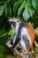 Zanzibar Red Colobus monkey, one of Africa's rarest primates numbers only about 1500 and is a distinct species, with different coat patterns, calls and food habits than species on the mainland.