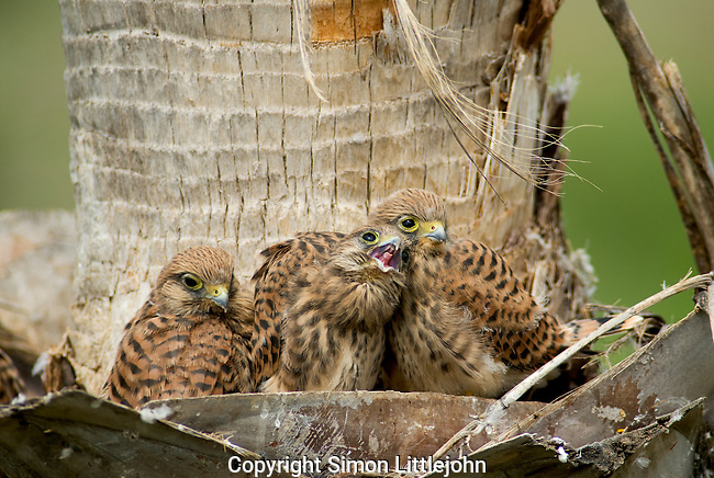 Kestrel chicks in nest located on trunk of palm tree.