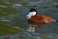 Ruddy Duck (Oxyura jamaicensis) drake in spring.