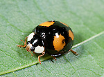 Harlequin Ladybird, Harmonia axyridis, black form with red spots, form spectabilis, on leaf in garden, Asian lady beetle, Multicolored Asian lady beetle,  Halloween lady beetle, invasive species to UK.United Kingdom....