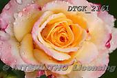 Gisela, FLOWERS, BLUMEN, FLORES, photos+++++,DTGK2161,#f# ,roses