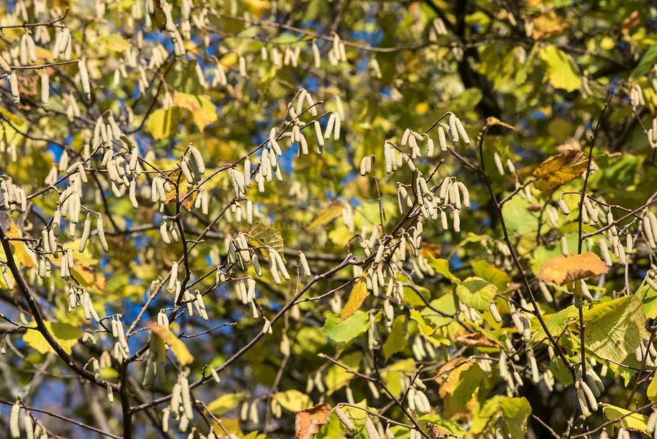 Hazelaar (Corylus avellana), katjes worden in de herfst al aangemaakt.