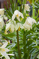 Green white spring flowers of bulb Fritillaria raddeana